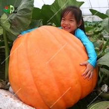 Giant pumpkin seeds,big Squash-ornamental gourds seeds,bonsai organic fruit vegetable seeds for home garden 10pcs/bag how many seeds in a pumpkin mr tiffin s classroom series