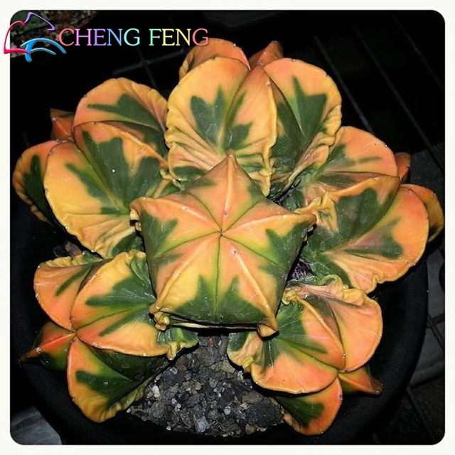 120/Bag Mix Succulent bonsai Exotic Cactus Bonsai Plants bonsai Flower Planters For Home & Garden Free Shipping