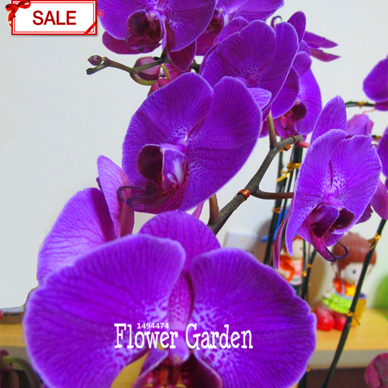 Sale!50 pcs/lot Purple Phalaenopsis Seeds Perennial Flowering Plants Potted orchids Flowers Seed,#N0M2RC