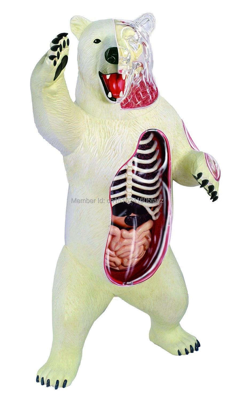 Dentista Dental del laboratorio de oso Polar anatomía modelo de ...