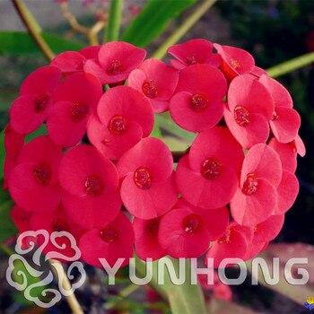 100PCS Cactus Pots Euphorbia Milii Bonsai Flower Outdoor Garden Cheap Flores Bonsai Everlasting Summer Plants Home Bonsai