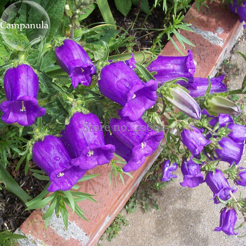 Rare light dark purple campanula bellflower flowers 50 seeds rare light dark purple campanula bellflower flowers 50 seeds canterbury bell mightylinksfo