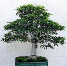 Betula Tree Betulaceae Hardwood Birch seeds