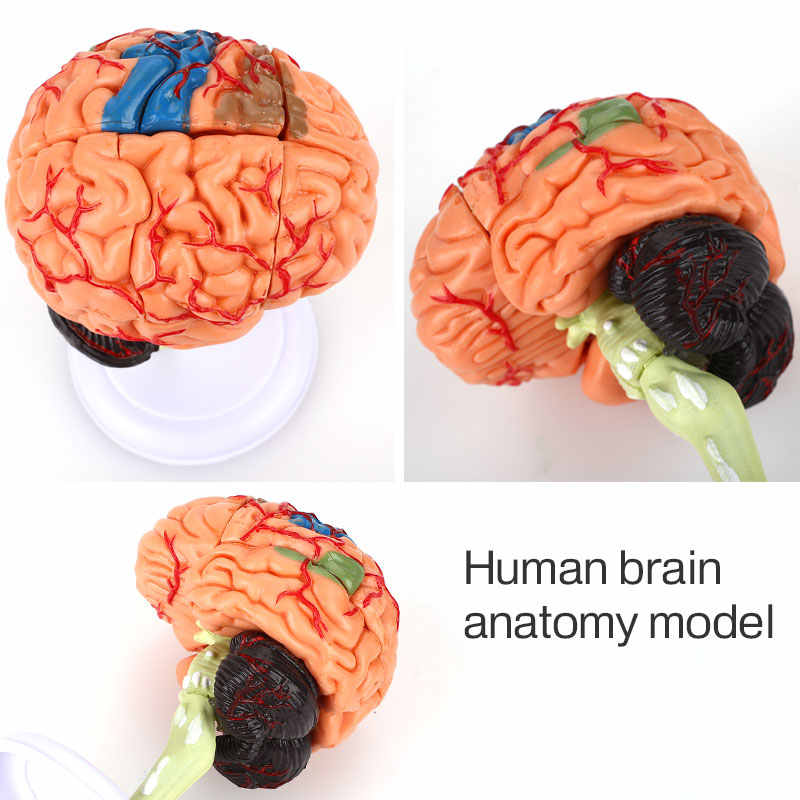Con Người Đầu Não Bộ Mô Hình Nhựa PVC Giải Phẫu Học Y Tế Có Thể Tháo Rời Khoa Học Giải Phẫu Bền Tham Khảo Hướng Dẫn Sử Dụng Nghiên Cứu Giảng Dạy Dụng Cụ