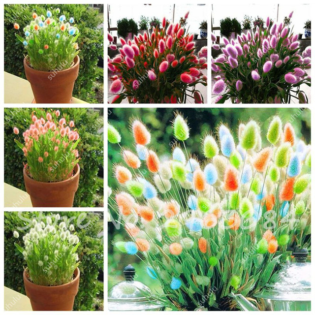 100 pcsbag rabbit tail grass seeds bonsai ornamental garden potted plants flowers