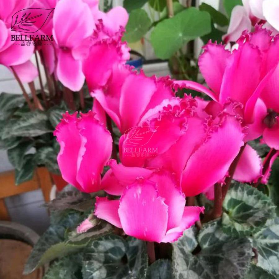 Bellfarm cyclamen mixed 4 colors pink light pink purple bi color big bellfarm cyclamen mixed 4 colors pink light pink purple bi color big blooms perennial flowers bonsai 5pcs seeds home garden in bonsai from home garden mightylinksfo