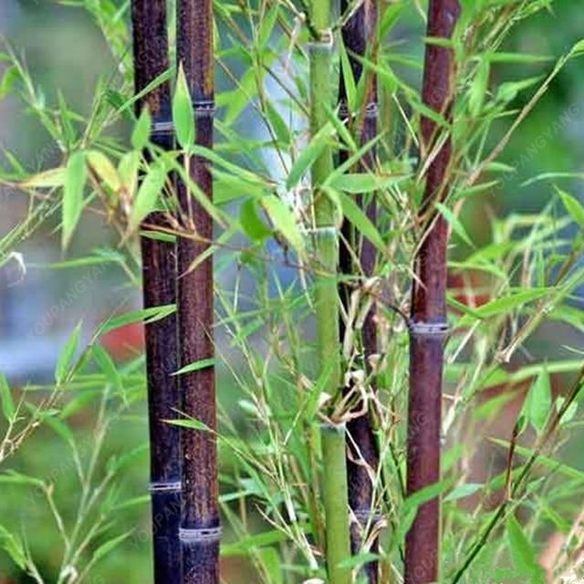 50 Bamboo Seeds Rare Giant Black Moso Bambu Professional Pack Bambusa Lako Tree