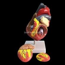 Человеческое Сердце анатомическая Учебная модель внутренние органы медицина модель органов эмульгированная+ подставка Медицинские Учебные материалы