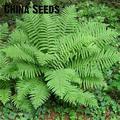 Doble 11 envío gratis 100 piezas japonés raro Creeper Boston Fern bonsai vides hierba follaje plantas planta Ornamental Bonsai bonsa