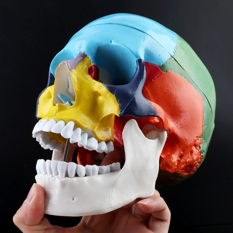 1:1 Scale Colorful Human Skull Skeleton Adult Head Model with Brain Stem Anatomy Medical Teaching Tool Supply 6