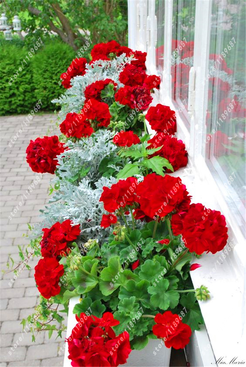 100pcs/bag red Geranium seeds rare bonsai flower seeds Perennial plant Pelargonium Peltatum Seeds Indoor Rooms for home garden