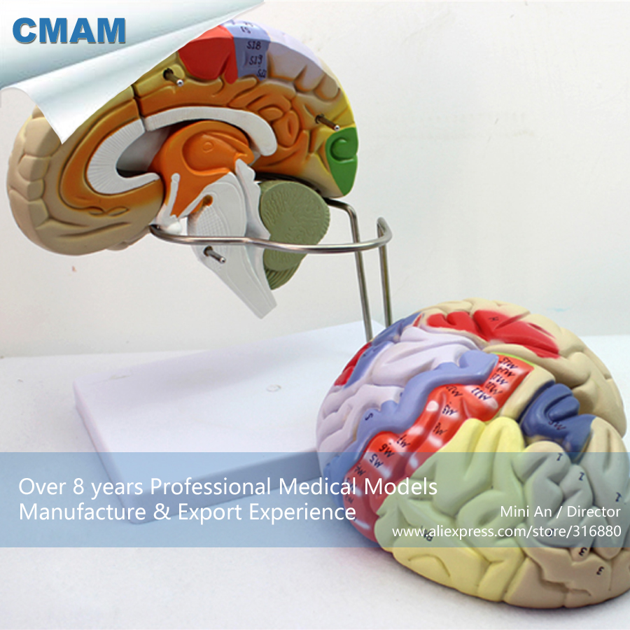CMAM-BRAIN08 Anatomical Model Of Anterior And Brainstem Detachable Brain, Medical Science Educational Teaching Anatomical Models cmam anatomy07 reproduction model of intrauterine contraceptive guidance medical science educational teaching anatomical models