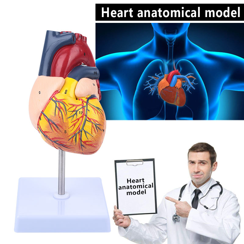 91dba50dc56 1:1 Human Anatomical Heart Anatomy Viscera Medical Organ Model Emulational  with Stand Medical Science Teaching Resources - aliexpress.com - imall.com