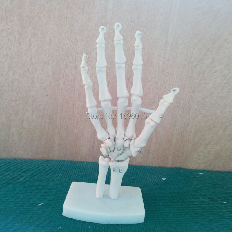HOT Life-Size Hand Joint Model,  Anatomical Hand Joint Model human life size hip joint skeleton anatomical model