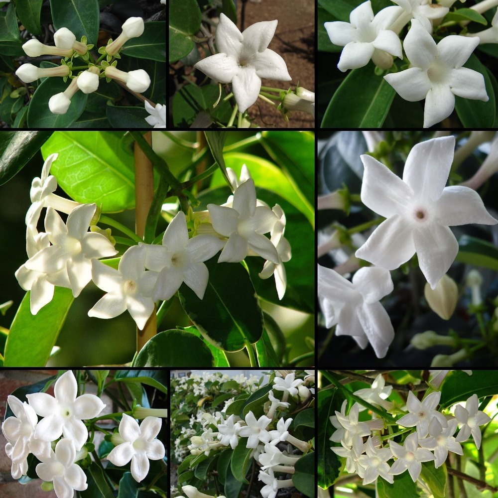 Online buy wholesale jasmine plant indoor from china for Cheap garden plants