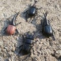 6pcs/lot 5.5cm simulation beetle Toys Special Lifelike Model Simulation insect Toy nursery teaching aids joke toys GYH