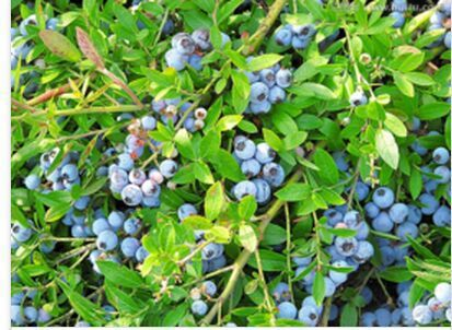 bilberry health skin antioxidant and anti-aging 100g handbook of mental health and aging