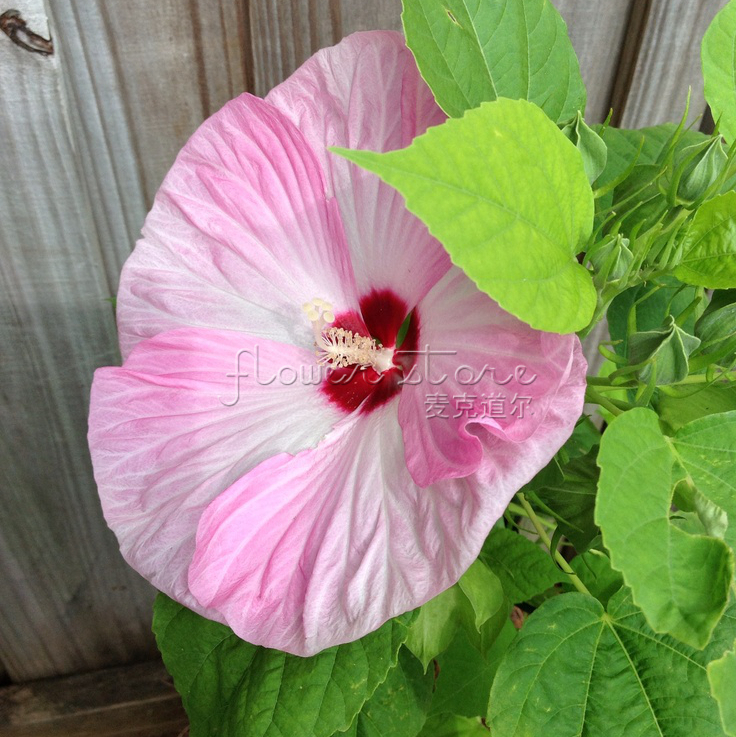 20 Dinner Plate Hibiscus Huge Flower Seeds Perennial Diy Garden