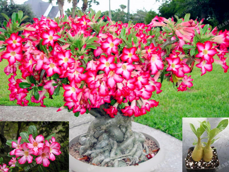 1 Pcs High Quatily Desert Rose Bonsai All Kinds Of Adenium Obesum Bonsai Plant Pot Bonsai Flower Bonsai For Home Garden Plant