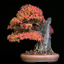 Acer Buergerianum Trident Maple Seeds Tree 30pcs