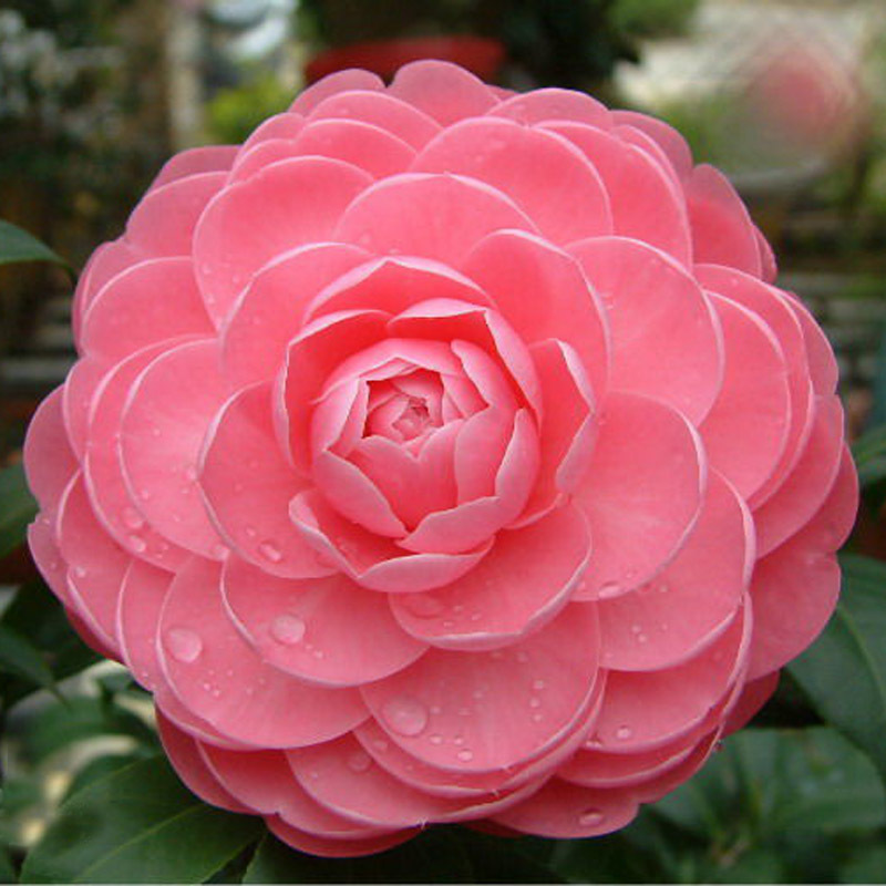 Beautiful pink camellia seeds potted plants garden flower seeds beautiful pink camellia seeds potted plants garden flower seeds potted bonsai tree common camellia seeds 100pcs in bonsai from home garden on mightylinksfo