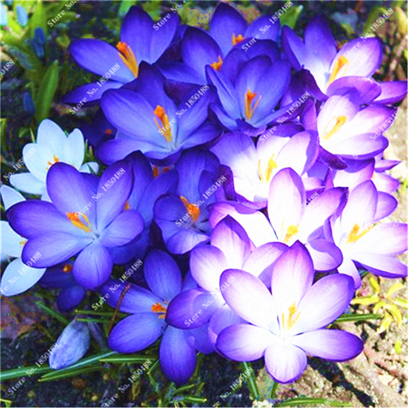 pflanzen safran-kaufen billigpflanzen safran partien aus china, Terrassen ideen