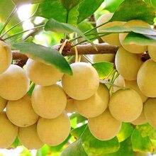 Ginkgo Biloba Tree Seeds 1pcs