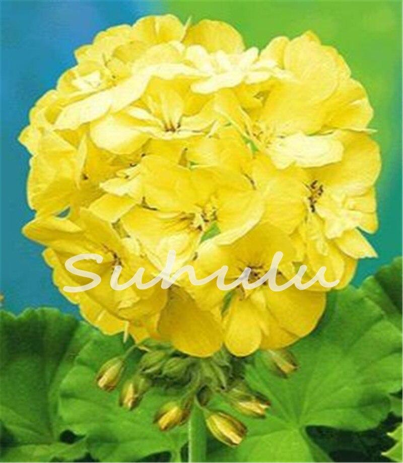 Rare yellow edge geranium seed perennial flower seeds - Geranio giallo ...