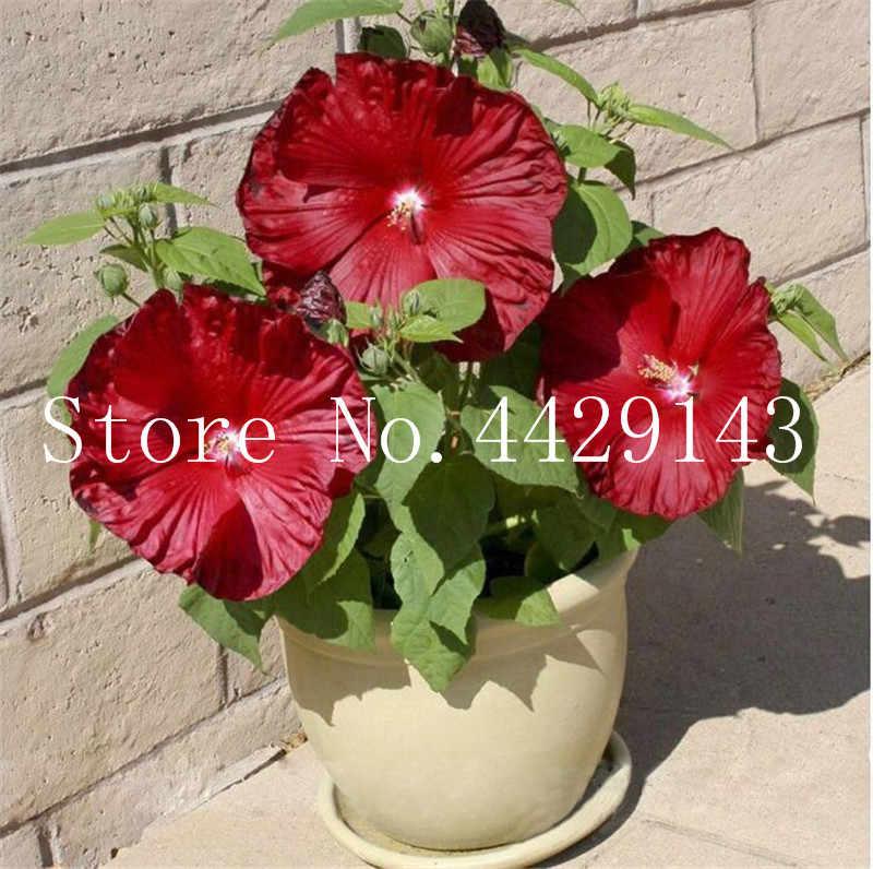 Hot Bán! 100 cái/túi Khổng Lồ dâm bụt Bonsai hoa Dâm Bụt Nhà Máy ngoài trời cây hoa cây cảnh đối với trang chủ vườn dễ dàng để phát triển