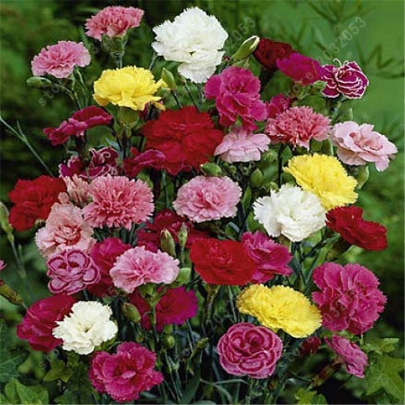 200 Pcs Carnation Plant Perennial Flowers Potted Garden Dianthus Caryophyllus Flower Planting Bonsai For Home