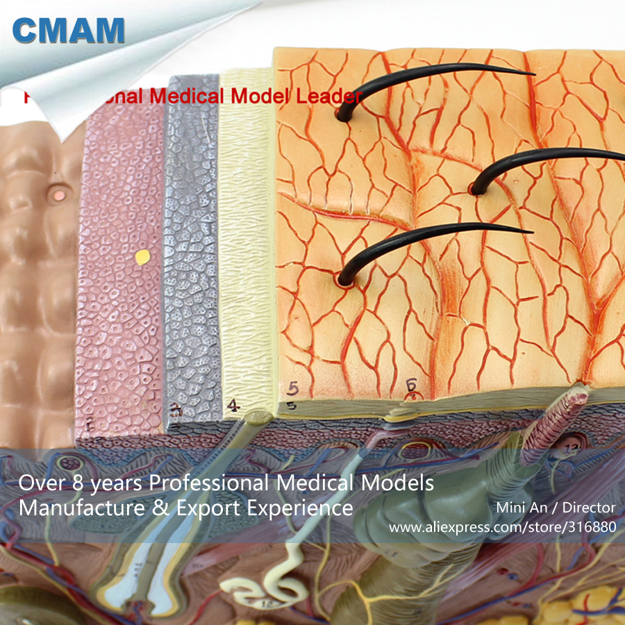 CMAM-SKIN01 Anatomical Human Skin Structure Section Block Model 70x,  Medical Science Educational Teaching Anatomical Models human anatomical body integral organ distribution skin medical teach model school hospital hi q