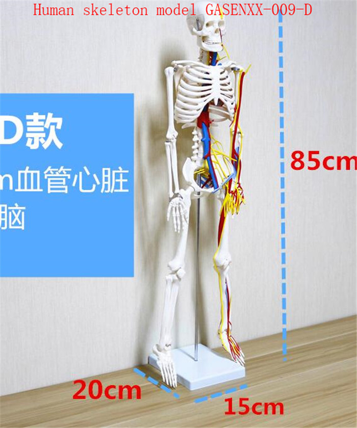 Human skeleton model Human skeleton model Can be active Skeleton skeleton specimens Human skeleton model GASENXX-009-DHuman skeleton model Human skeleton model Can be active Skeleton skeleton specimens Human skeleton model GASENXX-009-D