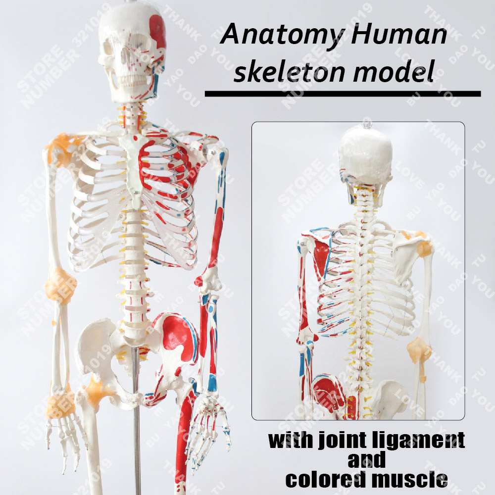 Anatomy Human skeleton model with joint ligament and colored muscle life size foot joint model human skeleton model human foot