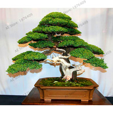 Lowest Price!50 juniper bonsai tree potted flowers indoor office bonsai purify the air absorb harmful gases juniper garden,#WOS0