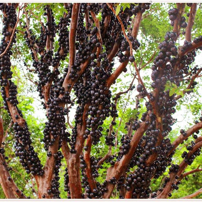 10pcs Mangosteen Seeds Best Seeds Online Free Shipping
