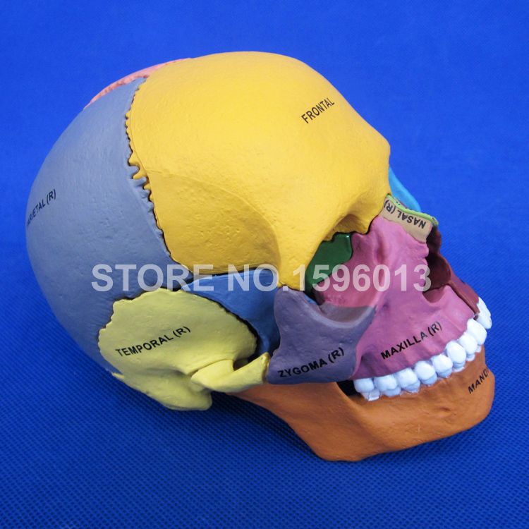 Advanced Dispersive Skull Bone model,Human Color assembled skull model,Human Skull Fragment model mini human uterus assembly model assembled human anatomy model gift for children