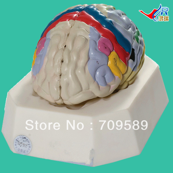 ISO Deluxe Brain Cortex model, Functional Localization of Cerebral Cortex, Medical Brain Model купить недорого в Москве