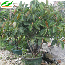 Delicieux Doxa 200PCS RUBBER FIG TREE SEEDS Ficus Elastica Indoor