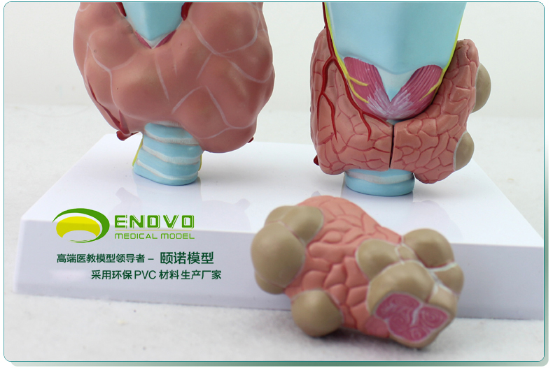 The Thyroid Gland The Pathological Model Human Endocrine System