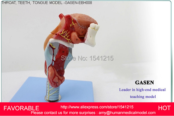 THROAT STRUCTURE FEATURES ENLARGE MODEL LARYNX LARYNGEAL ,HUMAN TEETH THROAT TONGUE MODEL LARYNGEAL ANATOMY TONGUE GASEN-EBH008 anatomical model throat structure features enlarge model larynx laryngeal cartilage pharyngonasal cavity model gasen hx002