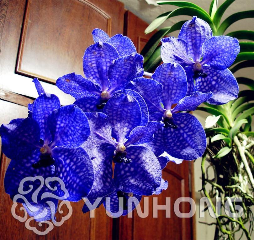 100 шт. Ванда Coerulea цветок бонсай Китай также Гималайская Орхидея карликовые деревья цветы для дома и сада посадки прорастание скорость 95%