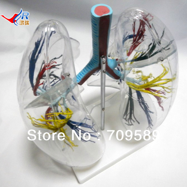 ISO Transparent Lung and bronchial tree Model larynx trachea and bronchial tree model