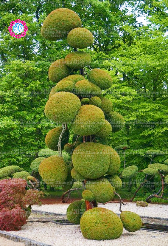 10pcshousehold products tree christmas tree seeds bonsai seeds perennial plants Ornamental Plant for home garden