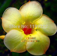 100 Genuine Curcuma Adenium Obesum Seeds 100 SEEDS Bonsai Desert Rose Flower Plant Seeds