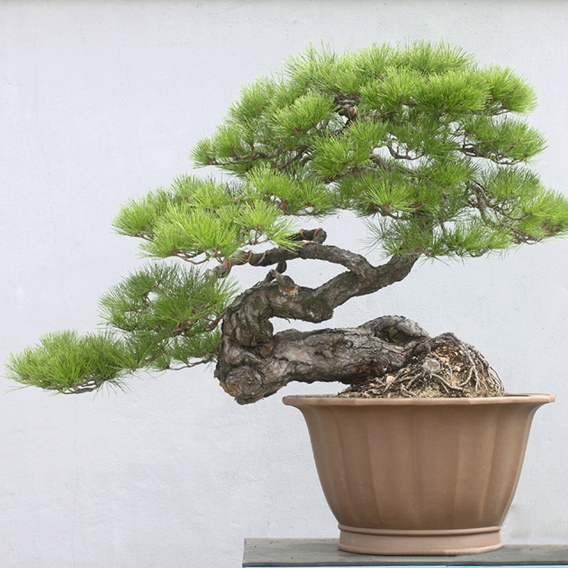 Free shipping. Japanese Black Pine 20 seeds * Pinus ...