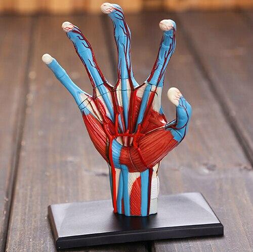 online shop new 4d master human hand skeleton anatomical model, Skeleton