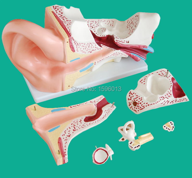 Giant Ear Model 6 parts, Ear structure model,Anatomical Human Ear Model ear anatomical model anatomic model labyrinth inner ear vestibular enlargement ear structure model gasen ebh006
