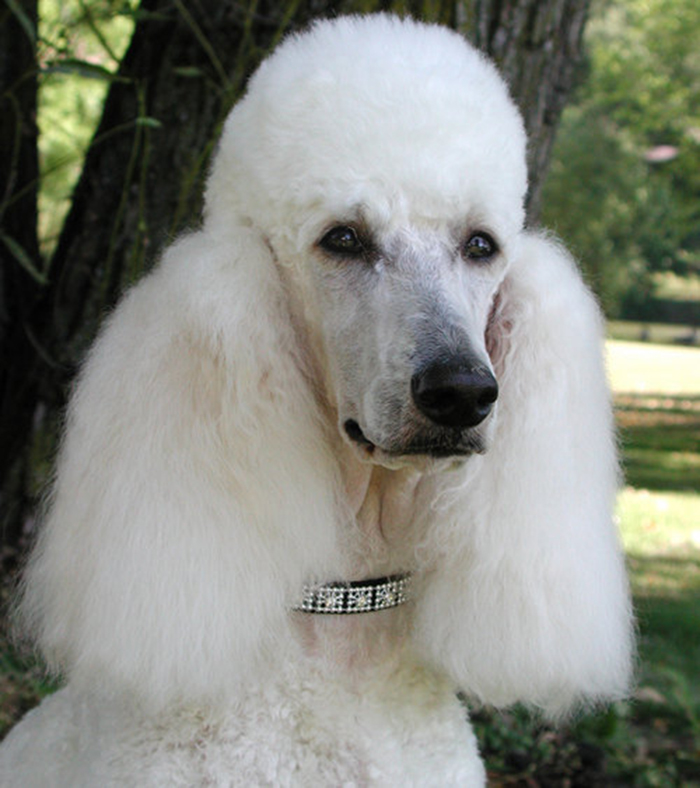 Kinitial Giant Poodle Silhouette Pet Dog Tag Breed Collar Charm Pendant Necklace Poodle Necklace Pet Lovers for Women Necklaces