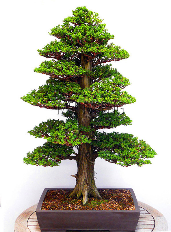 Big Sale!28PCS/BAG rare tree seeds for home bonsai JAPANESE CEDAR Semillas bonsai seeds,#S12NKA