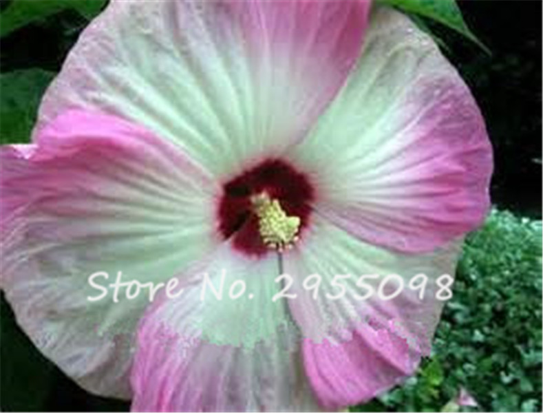 Beautiful Planter Des Hibiscus De Jardin Ideas - Sledbralorne.com ...